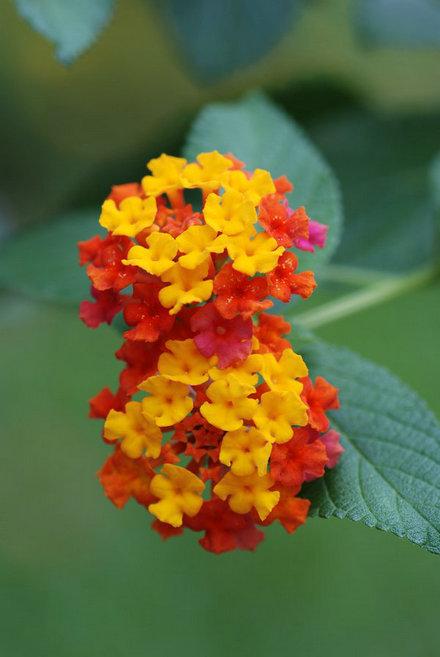 五色赤丹是嫁接的吗_举个栗子:同一株植物会开出不同颜色的花? -举个栗子小白教程 ...